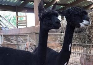 Alpacas Sheared