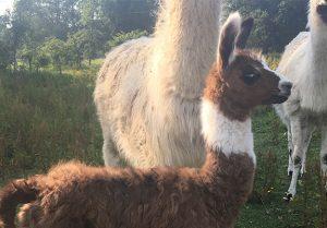 Baby Llama Standing Up