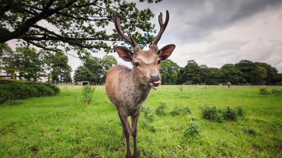 Sika-deer-img