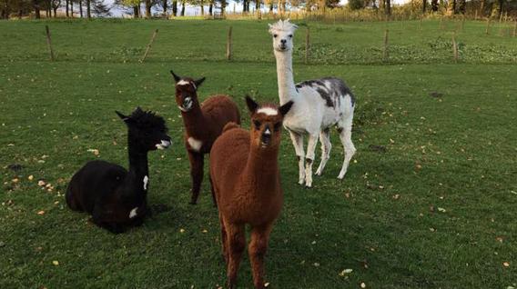 alpaca-family-img