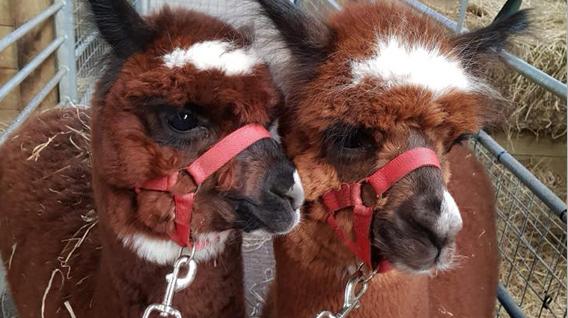 alpacas-img