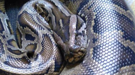 burmese-python-img
