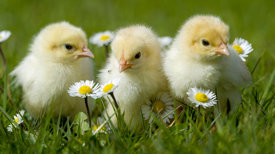 chicks-img
