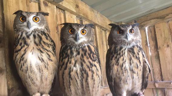eagle-owls
