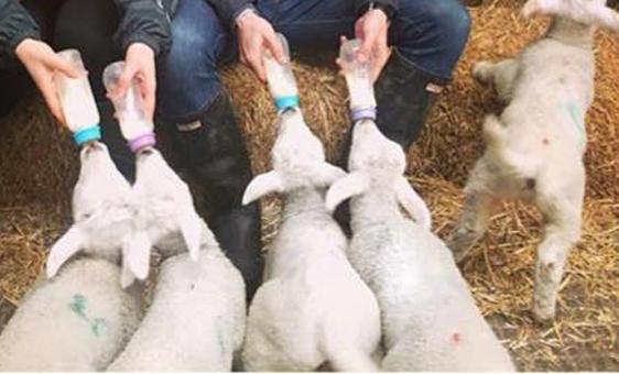 fedding-lambs