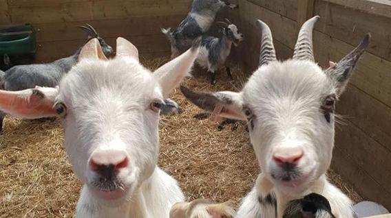 goats-img