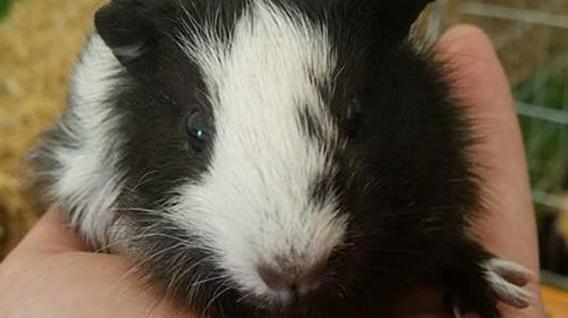 guinea_pig-img