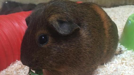 guinea_pig2-img