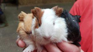 guinea_pigs-img