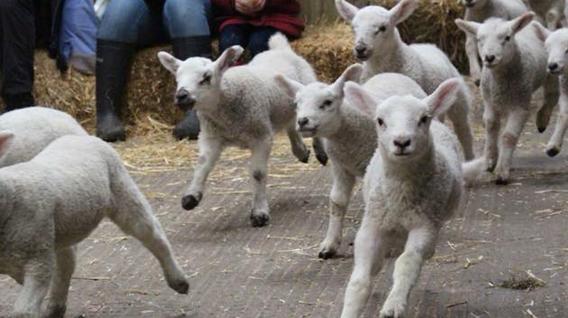 lambs-running-img