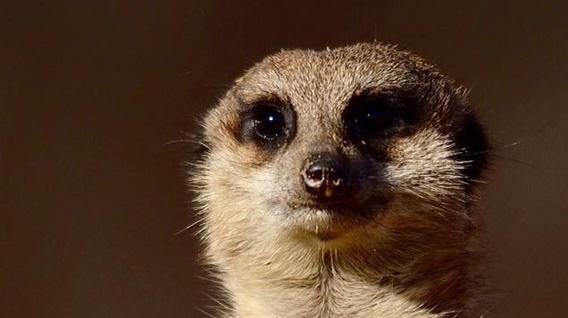 meerkat-face-img