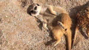 meerkat-img