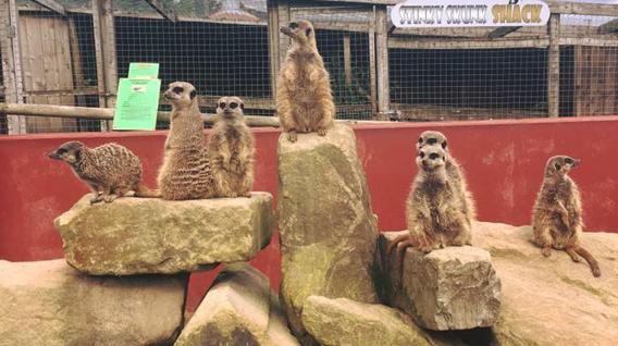 meerkats-img