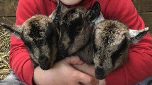 pygmy-goats-img