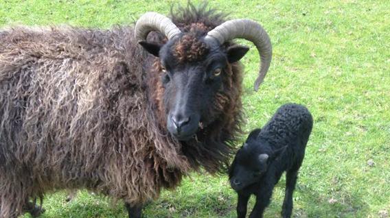 sheep-img