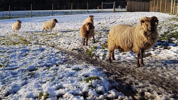 sheep3-img