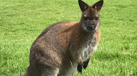 wallaby-img