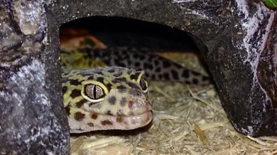 gecko-img