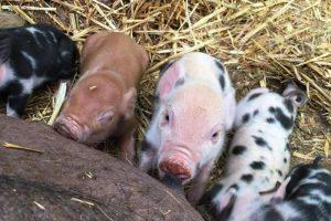 Aug_0000_piglets feeding