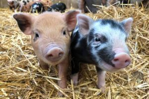 Aug_0002_New piglets