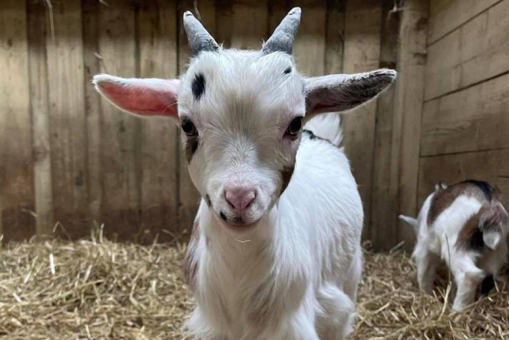 Smithills Open Farm July 2021_Baby Goat