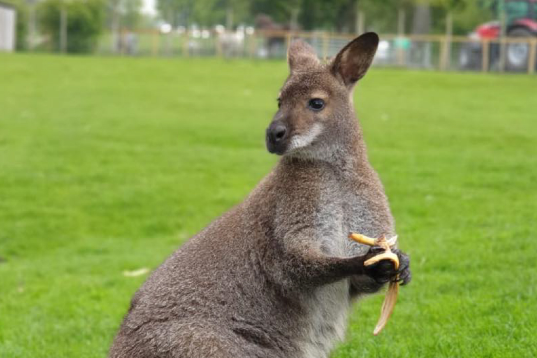 Smithills Open Farm July 2021_Wallaby